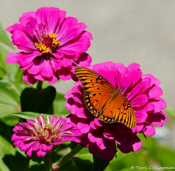 A Gulf Fritillary Butterfly resting on a Zinnia flower