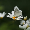 A Checkered White Butterfly sipping nectar from a Daisy.