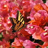 A Western Tiger Swallowtail sipping nectar from a Bougainvillea flower