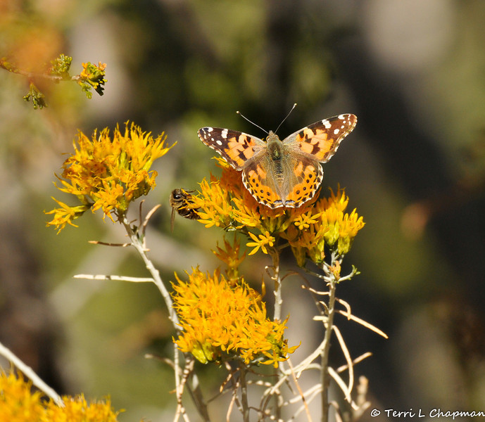 A Painted Lady Butterfly with a Honey Bee
