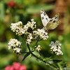 A Checkered White Butterfly sipping nectar from a Sedum plant