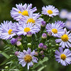A cluster of Aster flowers