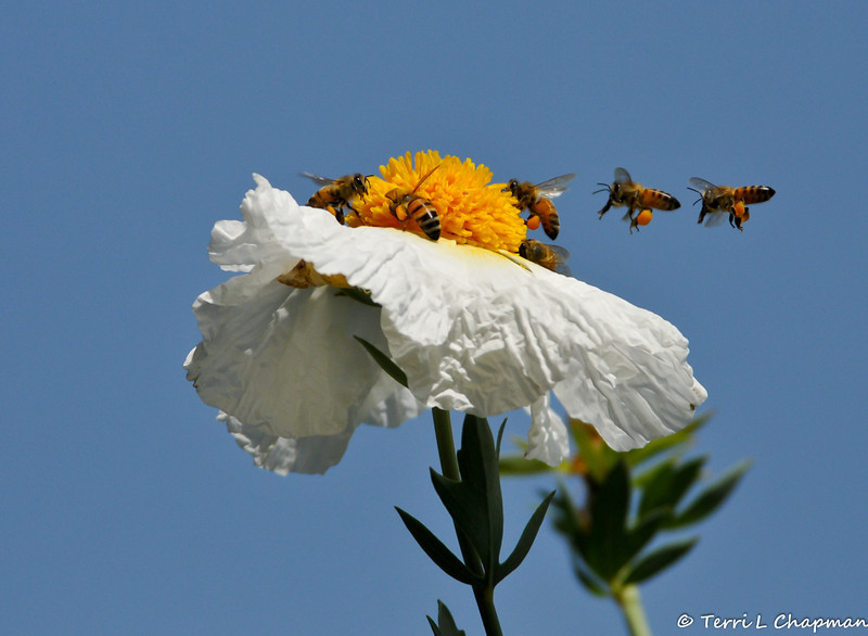Honey Bees pollinating a Matijila Poppy