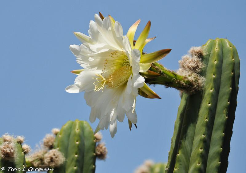 A Cactus bloom