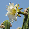 A Cactus bloom