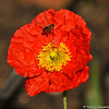 A Honey Bee with a Poppy