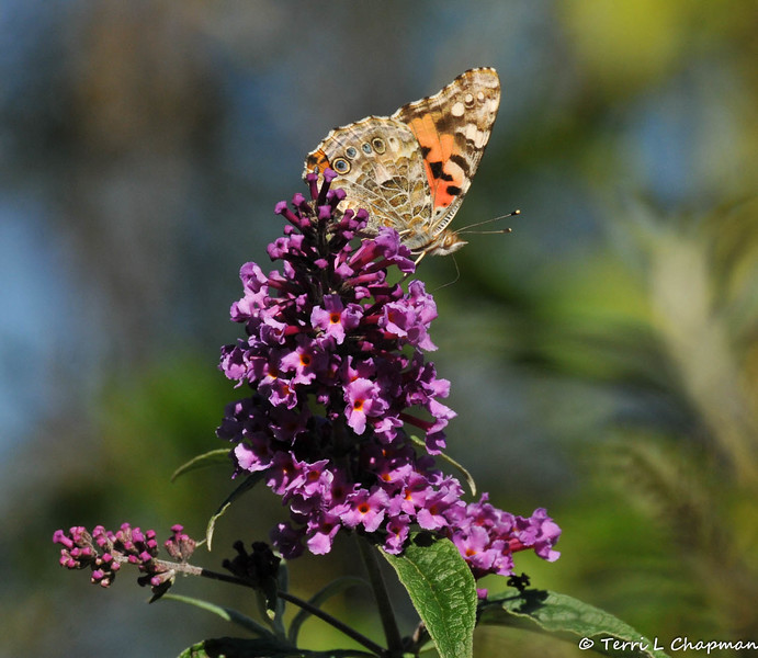 A Painted Lady Butterfly sipping nectar from a butterfly bush