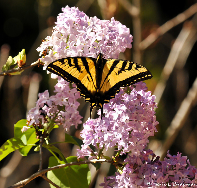 A Western Tiger Swallowtail on Lilacs