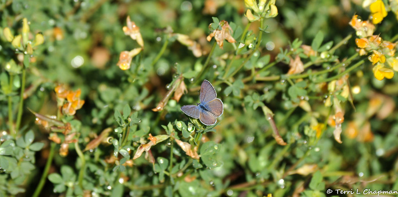 A Marine Blue Butterfly
