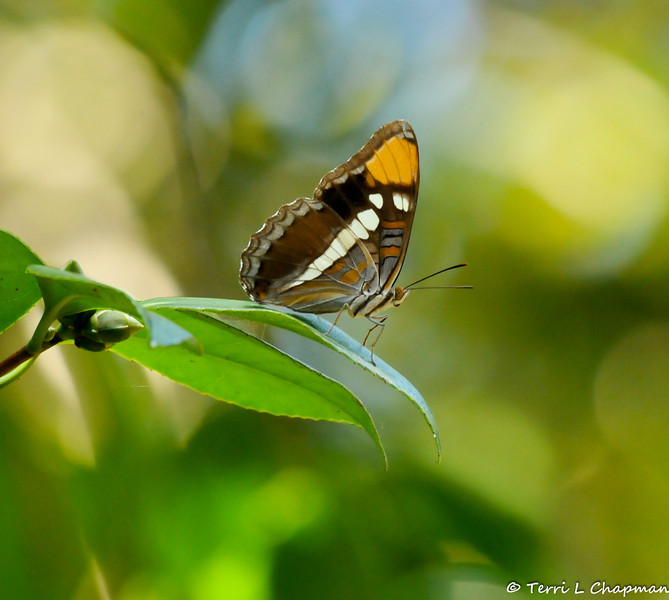 A California Sister Butterfly resting on a Camellia leaf