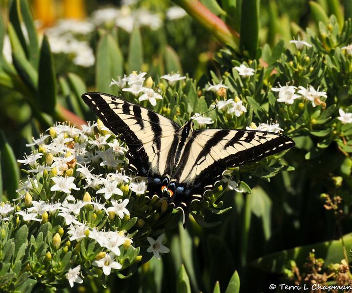 A Pale Swallowtail