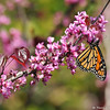A male Monarch butterfly sipping nectar from an Eastern Redbud flower