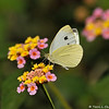 A Cabbage White Butterfly sipping nectar from a Lantana bloom. I photographed this butterfly outside of the chapel at Forest Lawn cemetery. I was attending the funeral of my colleague, who died at the young age of 38, and I brought my camera hoping I would see a butterfly.  I photographed this butterfly in his memory.