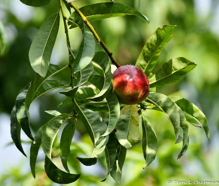 A ripe Apple