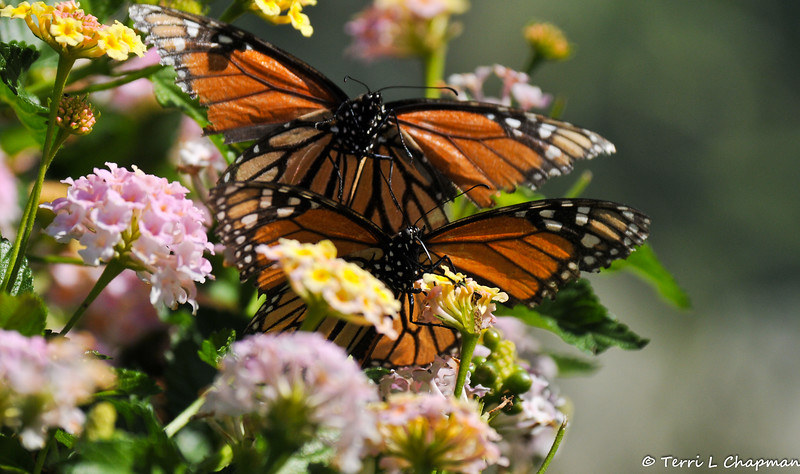 A female Monarch sipping nectar from a Lantana bloom with a second Monarch flying up behind it.  Note how tattered the wings are on both butterflies.