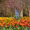 2015 blooming Tulips at Descanso Gardens in La Canada, CA.