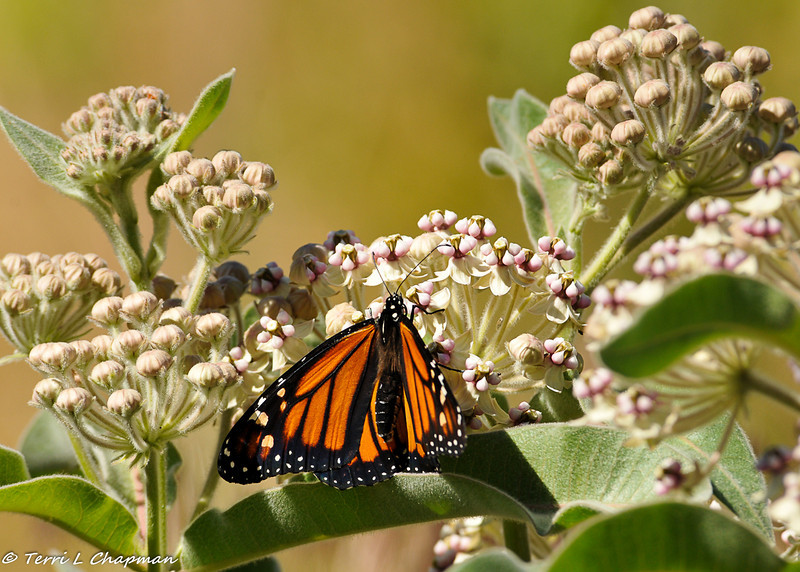 A female Monarch Butterfly photographed in the LA National Forest