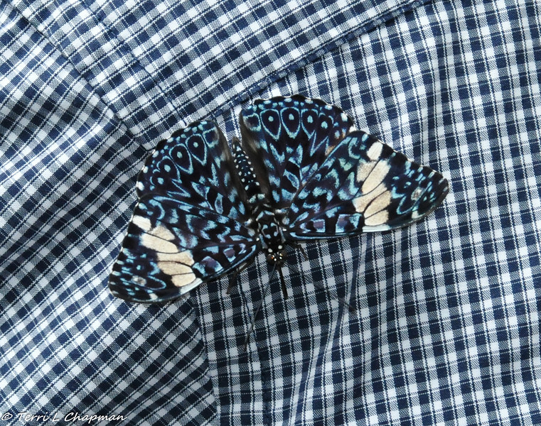 A butterfly on the shirt of a gentleman visiting the Victoria Butterfly Gardens in British Columbia, Canada. I have tried to identify this species, without luck. Not even the Gardens had its identification on its literature or on its website!