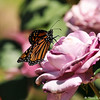 "A female Monarch Butterfly drying her wings on a ""Plum Crazy"" rose. This beautiful Monarch was born in my garden on May 2, 2015."