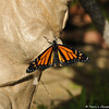A male Monarch butterfly in my garden, that had just emerged from his chrysalis, and was spreading his wings in the sun.
