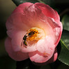 A Wasp and a Honey Bee on a Camellia bloom