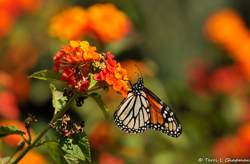 A female Monarch Butterfly sipping nectar from a Lantana bloom