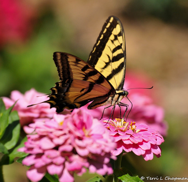 A Western Tiger Swallowtail sipping nectar from a Zinnia flower