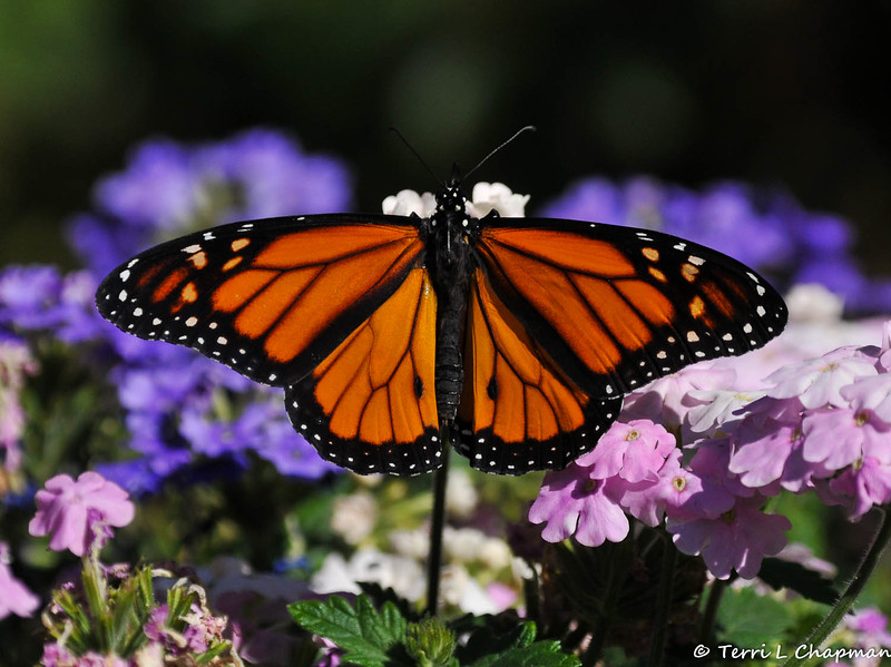 A beautiful male Monarch Butterfly resting on Verbena blooms. This Monarch was born in my garden on June 19, 2015