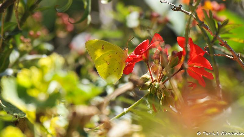 A Cloudless Sulphur sipping nectar from a geranium flower