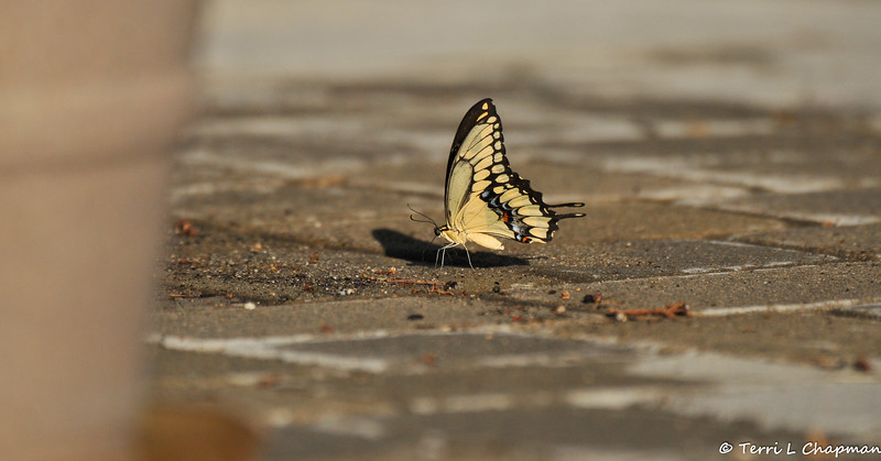 On a very, very hot August day, I saw this female Giant Swallowtail in my yard, so I watered down my driveway. She immediately flew down to take a drink and she was so thirsty that I had to hose the area down twice, since the water evaporated quickly in the heat.
