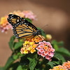 A beautiful female Monarch Butterfly, resting on Lantana blooms, before she takes her first flight. This Monarch was born in my garden on May 8, 2015, but the weather was cold that day, so she stayed safe in her mesh castle until the weather warmed up and then she was released.