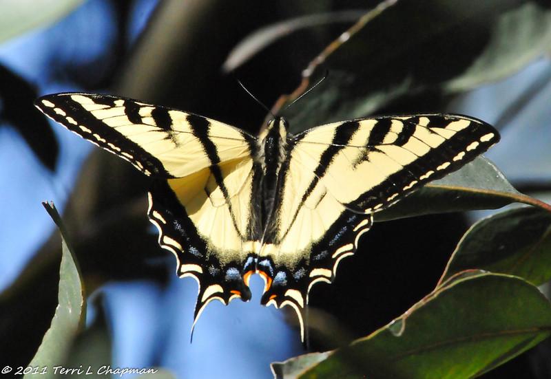 A Western Tiger Swallowtail