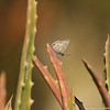 A Marine Blue butterfly resting on a succulent plant