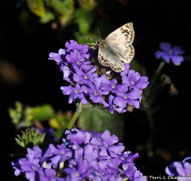 A female Northern White Skipper Butterfly