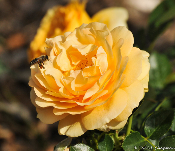A Honey Bee getting ready to pollinate a Julia Child rose