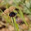 A Common Buckeye Butterfly