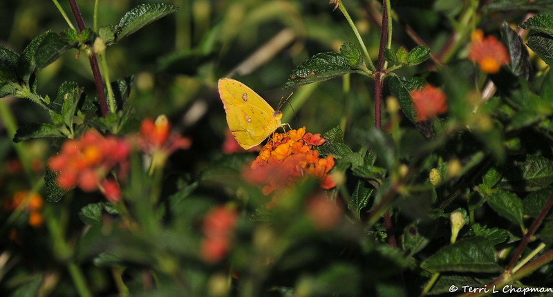 A Cloudless Sulphur sipping nectar from a Lantana flower