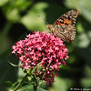 A Painted Lady Butterfly on a Sedum plant