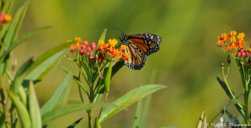 A male Monarch sipping nectar from a Milkweed flower