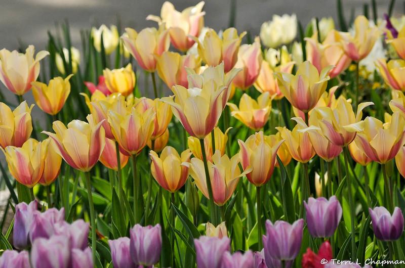 2015 blooming Tulips at Descanso Gardens in La Canada, CA.