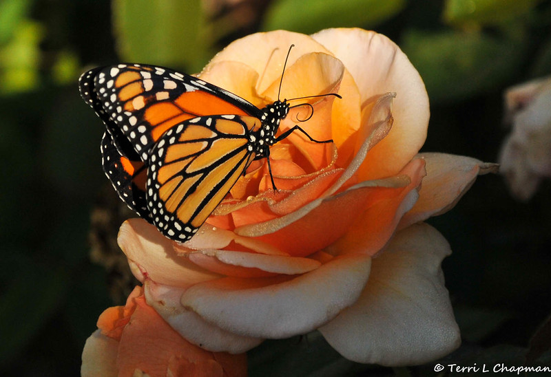 A male Monarch Butterfly resting on a Cary Grant rose.