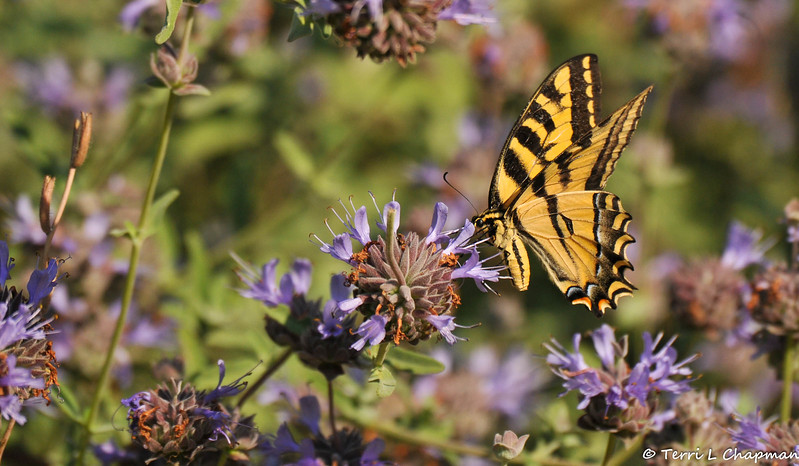 A Western Tiger Swallowtail sipping nectar from a Sandhill Sage bloom
