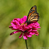 A Monarch Butterfly sipping nectar from a Zinnia bloom