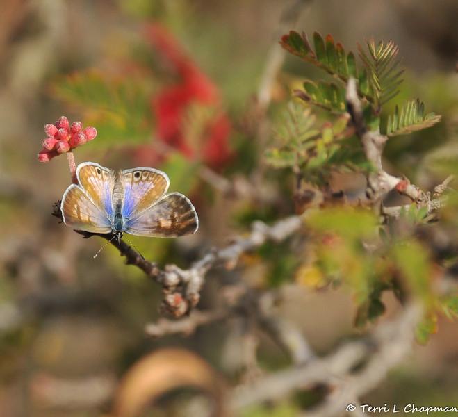 A Marine Blue Butterfly on a Baja Fairy Duster bush