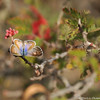 A Marine Blue Butterfly on a Baja Fairy Duster bush