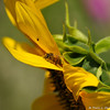 A Honey Bee on a Sunflower