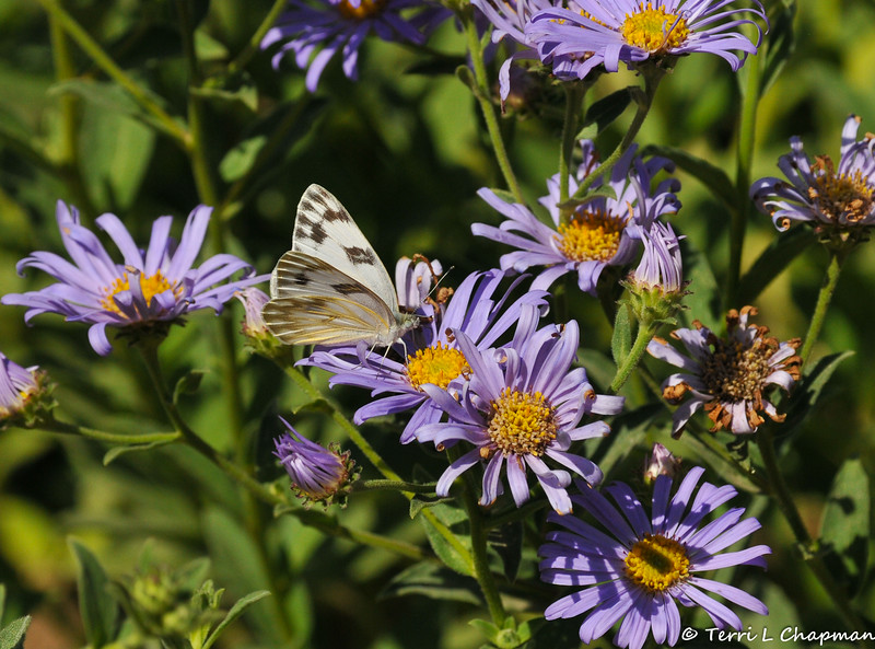 A Checkered White butterfly sipping nectar from an Aster flower