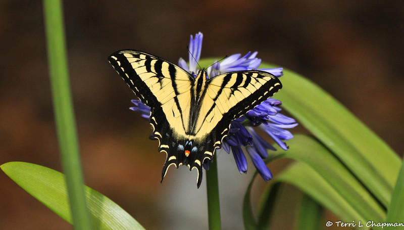 A Western Tiger Swallowtail on Lily of the Nile (aka Agapanthus)