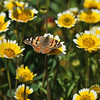 A Painted Lady Butterfly resting on a Tidy Tips flower