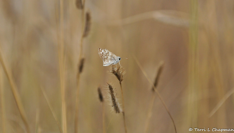 A Common Checkered Skipper on native grass